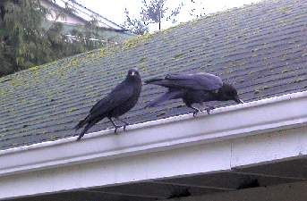 Picture of Crows on roof